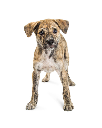 Young mixed breed medium-sized puppy with brindle coat standing and looking into camera. Isolated on white.