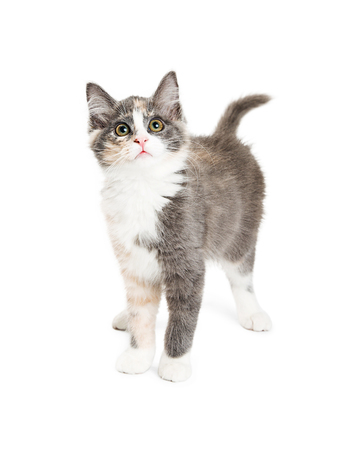Cute lon-haired grey and orange kitten standing on white background looking up Stok Fotoğraf