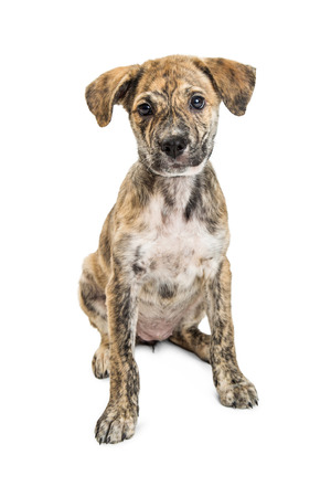 Cute young mixed breed medium-sized puppy with brindle coat sitting and looking into camera. Isolated on white.
