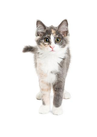 かわいい長い髪グレーとオレンジ子猫ホワイトの上に立って、カメラに探しています。 写真素材