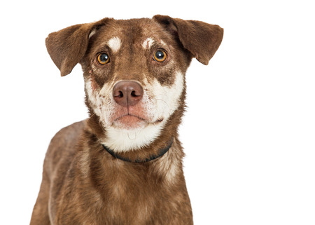 Closeup portrait of a brown and tan color medium-sized mixed breed dog over white