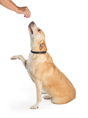 Large breed dog sitting to side, raising paw to shake for a treat that a person is handing her