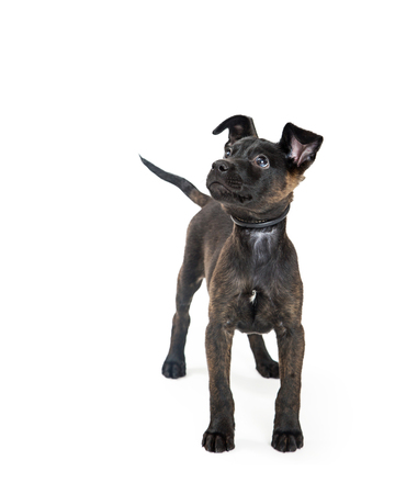 Cute young black color mixed terrier breed puppy dog standing on white, looking into copy space.