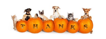 Reihe von niedlichen Welpen und von Kätzchen über sechs geschnitzten Kürbisen mit dem Wort Dank für Erntedank. Getrennt auf Weiß und für ein populäres Social Media-Titelbild sortiert. Standard-Bild
