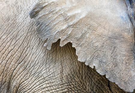 Close-upfoto van de gerimpelde geweven huid op het lichaam en het oor van een Afrikaanse olifant