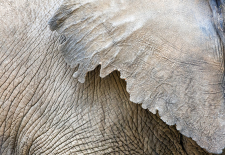 Closeup photo of the wrinkled textured skin on the body and ear of anAfrican elephant