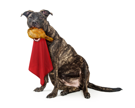 Funny photo of dog eating a turkey leg while wearing a red napkin on neck with fat, extended belly exposed 版權商用圖片 - 92398329