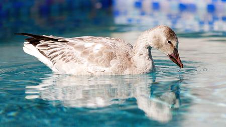 애리조나 피닉스에서 뒷마당 풀에서 수영하는 소름이