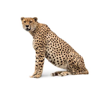 Afrikaanse jachtluipaard die en camera zit onderzoekt. Geïsoleerd op wit. Stockfoto