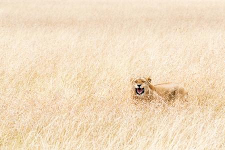 Leeuwin die in lang gras in Kenia, Afrika ligt met grappige gelukkige uitdrukking