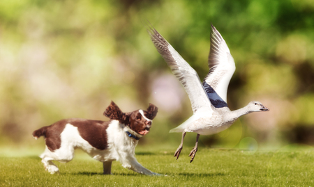 English Springer Spaniel dog chasing large Snow Goose in open field