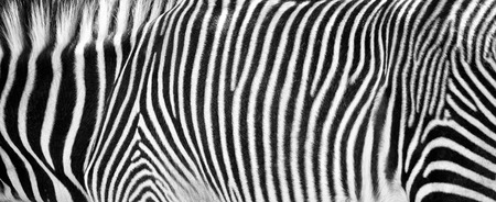 Closeup photo of the black and white fur stripes on the skin of a Grevys zebra. Stock Photo