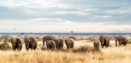 Large herd of elephants walking through the grasslands of the Masai Mara in Kenya, Africa with hot air balloons in the background