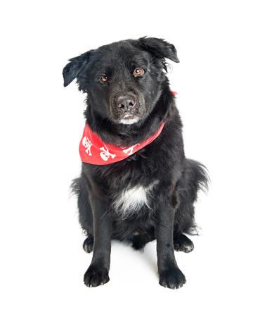 Big black mixed large breed dog wearing red bandana sitting on white. Looking into camera