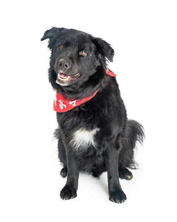 Cute black color mixed large breed dog wearing red skull and crossbones bandana with happy expression