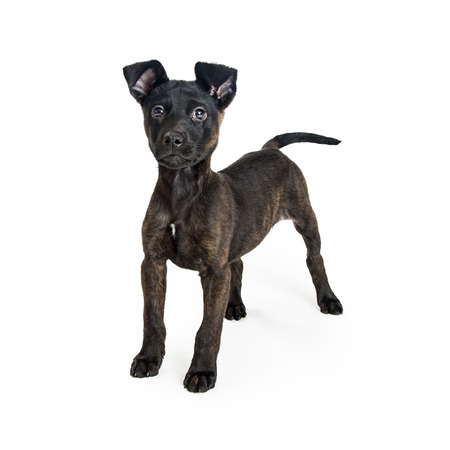 Cute little crossbreed terrier dog with black coat standing on white studio background looking into camera.