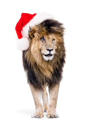 Funny photo of famous African lion Scar isolated on white wearing Christmas Santa Claus Hat Stok Fotoğraf