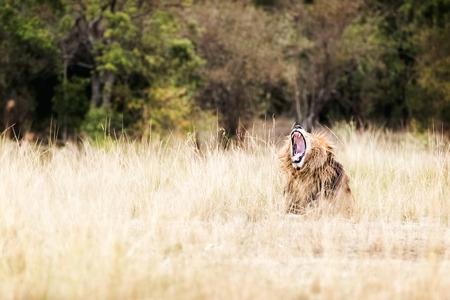 Afrikaanse leeuw in de graslanden van Kenia met mond wijd open geeuwen