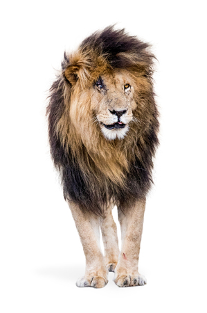 Famous African lion named Scar standing on white