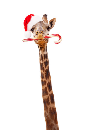 Closeup giraffe wearing Christmas Santa Claus cap and holding candy cane in mouth