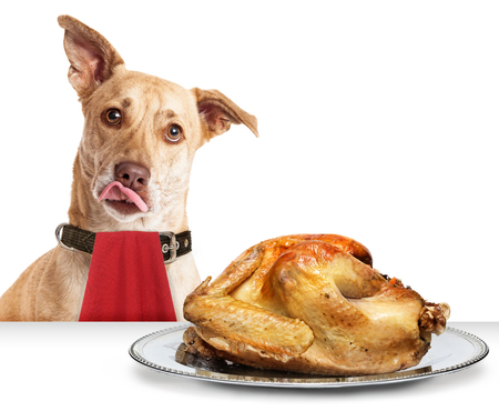 Hungry dog in front of roasted Thanksgiving day turkey wearing red napkin with tongue out to lick lips