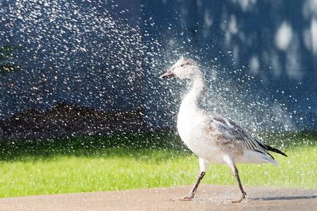 정원 호스를 가진 물에 의해 살포되는 눈 거위의 재미있는 사진 스톡 콘텐츠