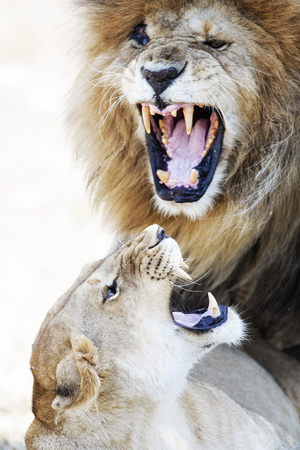 Infamous lion named Scar and his lioness mate show aggression while mating in the Mara Triangle in Kenya, Africa.  Imagens