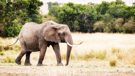 Large African elephant walking through the grasslands of Kenya, Africa