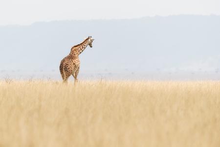Zachte en dromerige scène van een Masai-giraf die in het lange gras van Kenia, Afrika weggaat