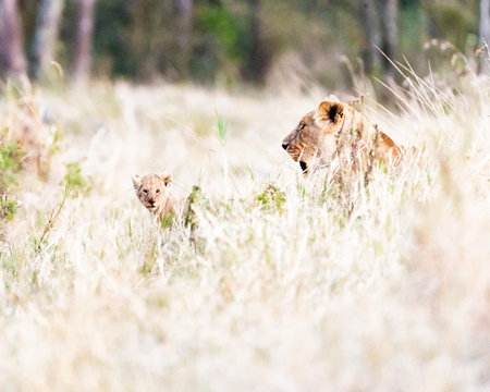 Baby lion cub and mother lioness lying in tall grass in the Masai Mara area of Kenya, Africa
