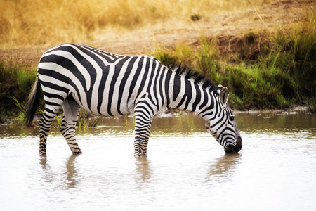 Zebra drinking water from the Mara river in Kenya Africa