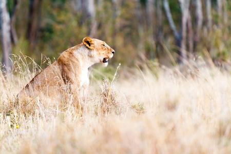 Mooie vrouwelijke leeuwin die aan kant in lang gras in Kenia, Afrika zitten met exemplaarruimte