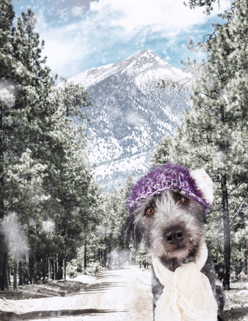 Closeup of a cute dog wearing cap and scarf in a snowy winter scene alsong a forest road leading to the snow-capped mountains in Flagstaff, Arizona
