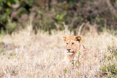 Young lion cub lying in the tall grass in the plains of Kenya, Africa Stok Fotoğraf