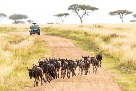 Wildebeest, migratie, Afrika, Kenia, reizen, safari, toerisme, weg, kruising, voertuig, tour, rijden, kudde, Stockfoto