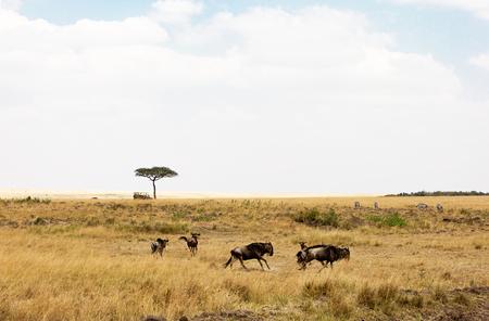 Wildebeest die rond in de graslanden van Kenia Afrika rennen met safarivoertuig op afstand
