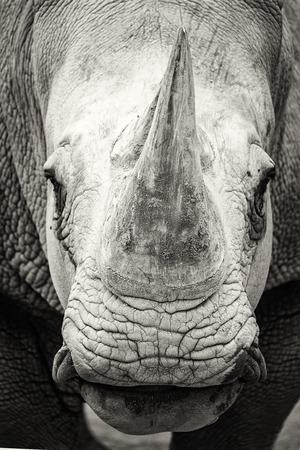 Closeup photo of th face of a southern white rhinoceros in black and white