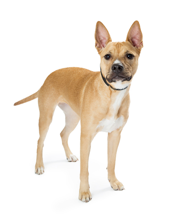 Mixed breed medium size light color young dog standing on white