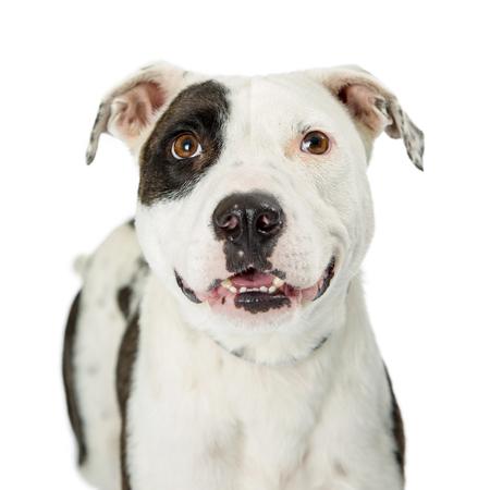 Close-upfoto van gelukkige en glimlachende Pit Bull-hond met wit bont en zwarte noteringen
