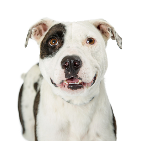 Closeup photo of happy and smiling Pit Bull dog with white fur and black markings