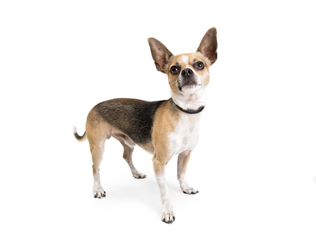 Cute small tri-color mixed Chihuahua breed dog standing on white and looking up