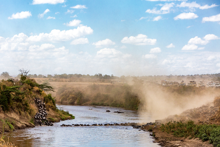 Wide view of a herd of wildebeest crossing over the Mara River in Kenya, Africa during the great migration season with safari tourist vehicles overlooking from the river bank