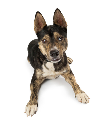Tri-color mixed Shepherd breed dog lying down on a white background Stock Photo