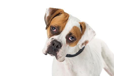 Primo piano del volto di un cane piuttosto bianco e marrone di razza boxer di colore Archivio Fotografico - 93247241