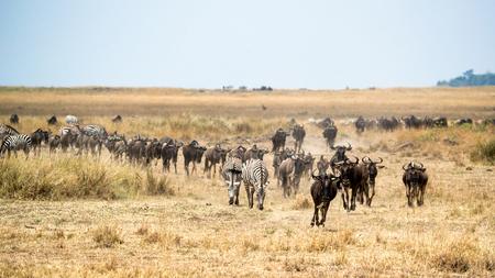 Herd of blue wildebeest and zebra migrating through the grasslands of the Masai Mara in Kenya, Africa Archivio Fotografico