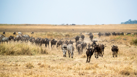 Herd of blue wildebeest and zebra migrating through the grasslands of the Masai Mara in Kenya, Africa Stock Photo