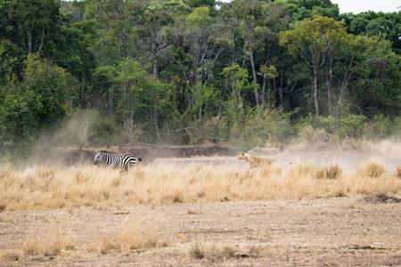 Lioness chasing after zebra in the Hippo Pool area of Masai Mara National Park in Kenya, Africa Stock Photo