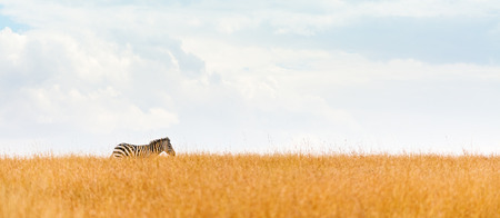 single zebra walking along horizon line in open grasslands of Kenya, Africa. Horizontal image sized for web banner with copy space