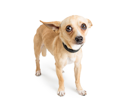 Shy and scared Chihuahua dog. Image taken at an animal rescue with white studio background 스톡 콘텐츠