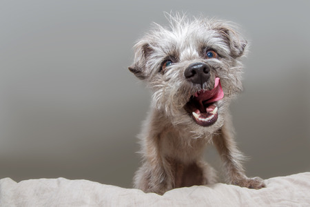 Funny photo of a hungry small mixed terrier breed dog sitting on a bed and looking down with mouth open and tongue out to lick lips Reklamní fotografie